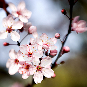 cherry blossoms 02.jpg
